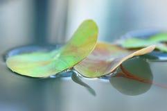 Hoja y reflexión de Lotus Imagen de archivo libre de regalías