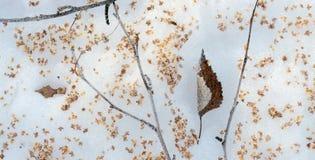 Hoja y semillas de un árbol de abedul en una nieve Imagen de archivo