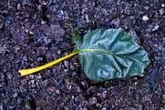 Hoja y tronco vegetales del cardo cubiertos en helada en la tierra escarchada Imagenes de archivo
