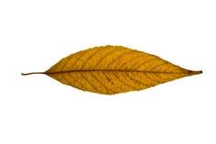 Hoja Yellow-brown del sauce Imagen de archivo libre de regalías