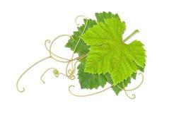 Hojas 02 de la uva stock de ilustración