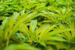 Hojas abundantes de la marijuana imagen de archivo libre de regalías