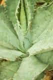 Hojas acentuadas agudas de la planta del agavo imagenes de archivo