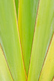Hojas acentuadas agudas de la planta del agavo Fotografía de archivo