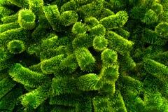 Hojas aciculares frescas del color verde fotos de archivo