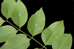 Hojas aisladas, cerrado para arriba en las hojas verdes aisladas en la parte posterior del negro Imagen de archivo
