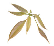 Hojas aisladas del mango del verde del manojo cortadas Imagen de archivo