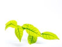 hojas aisladas en el fondo blanco Fotografía de archivo