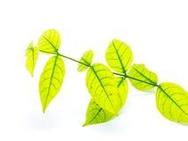 hojas aisladas en el fondo blanco Foto de archivo