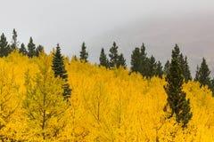 Hojas amarillas de la caída entre árboles verdes Foto de archivo libre de regalías