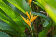 Hojas amarillas de la flor y del verde del heliconia foto de archivo libre de regalías