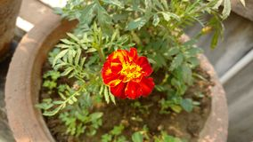 Hojas amarillas de la hoja del jardín de la flor Fotos de archivo libres de regalías