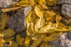 Hojas amarillas de la nuez Imagenes de archivo