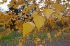 Hojas amarillas de oro del abedul en otoño Fotos de archivo libres de regalías