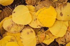 Hojas amarillas del álamo temblón Imágenes de archivo libres de regalías