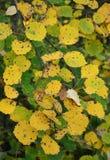 Hojas amarillas del álamo temblón Fotos de archivo