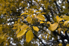 Hojas amarillas del árbol Fotografía de archivo libre de regalías