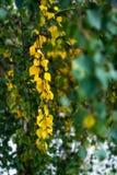 Hojas amarillas del árbol de abedul de plata en otoño, el comienzo del otoño Imagenes de archivo