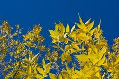 Hojas amarillas del árbol que crecen en el cielo imagenes de archivo