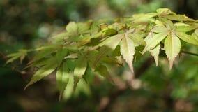 Hojas amarillas del arce palmeado Acer Palmatum del ?rbol en el viento ligero, 4K almacen de metraje de vídeo