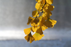 Hojas amarillas del gingko Imagenes de archivo
