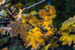 Hojas amarillas del otoño Imágenes de archivo libres de regalías