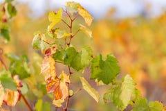Hojas amarillas del otoño de uvas Vid en la caída Vi?edo del oto?o Foco suave Copie el espacio fotos de archivo
