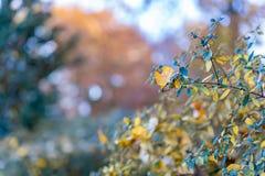 Hojas amarillas del otoño en un arbusto en el parque Fondo y bokeh borrosos hermosos de la naturaleza Foco suave Imagen entonada  imágenes de archivo libres de regalías
