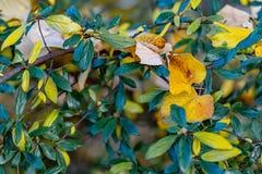 Hojas amarillas del otoño en un arbusto en el parque Fondo y bokeh borrosos hermosos de la naturaleza Imagen entonada Fotograf?a  fotos de archivo libres de regalías