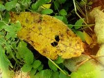 Hojas amarillas del sauce en el bosque otoñal de Siberia Fotos de archivo