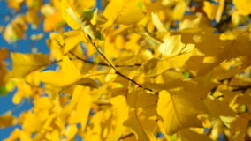 Hojas amarillas en el viento, cielo azul almacen de video