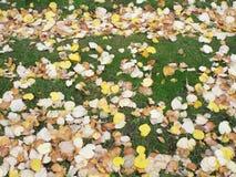 Hojas amarillas en hierba verde Foto de archivo