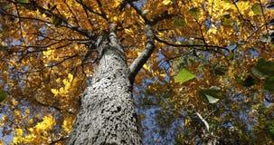 Hojas amarillas en la inclinación del árbol de nuez dura para arriba metrajes