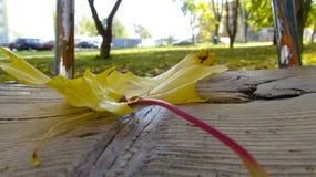 Hojas amarillas en oscilaciones de madera fotografía de archivo