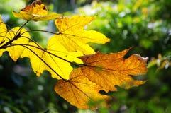 Hojas amarillas en otoño Fotografía de archivo libre de regalías