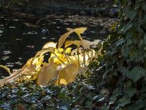 Hojas amarillas grandes del arbusto en los rayos del sol, impresión de luz del sol fotos de archivo