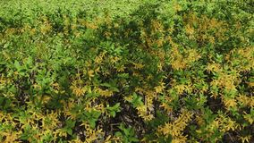 Hojas amarillas verdes hermosas en un arbusto en un día soleado