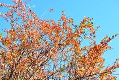 Hojas amarillas y anaranjadas en fondo del cielo azul del árbol Imagen de archivo