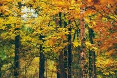 Hojas amarillas y de la naranja en bosque del otoño Foto de archivo libre de regalías