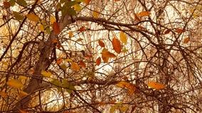 Hojas amarillas y marrones en ramas en la estación otoñal del árbol almacen de metraje de vídeo