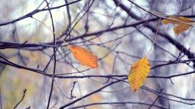 Hojas amarillas y marrones en ramas en la estación otoñal del árbol metrajes