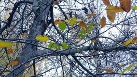 Hojas amarillas y marrones en ramas en la estación otoñal del árbol almacen de video