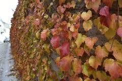 Hojas amarillas y rojas de la hiedra en la pared imagenes de archivo