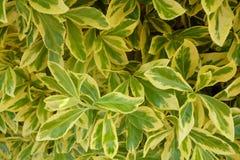 Hojas amarillas y verdes fotografía de archivo