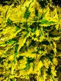 Hojas amarillas y verdes brillantes Imagen de archivo