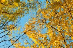 Hojas amarillas y verdes de los árboles contra el cielo azul Fotos de archivo