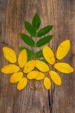 Hojas amarillas y verdes del serbal que mienten en un tablero de madera Imágenes de archivo libres de regalías