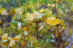 Hojas amarillas y verdes Fondo y bokeh borrosos hermosos de la naturaleza Foco suave Imagen entonada Copie el espacio foto de archivo libre de regalías
