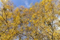 Hojas amarilleadas del abedul Imagen de archivo
