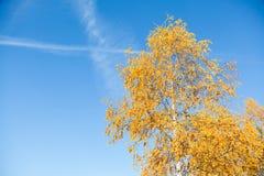 Hojas amarilleadas del abedul en un cielo azul del fondo Foto de archivo